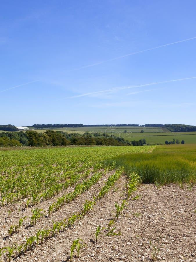Junge Maisanlagen in einer englischen Landschaft des Patchworks in der Sommerzeit stockfotos
