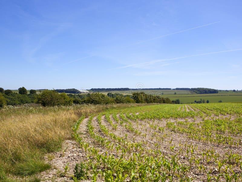 Junge Maisanlagen und -Hecken in einer englischen Landschaft in der Sommerzeit lizenzfreies stockfoto