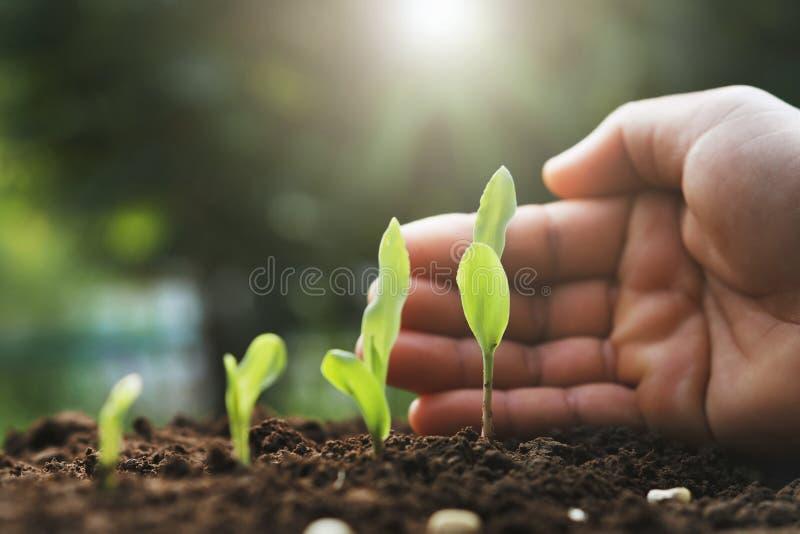 junge Maispflanze des Handschutzes im Bauernhof Landwirtschaft comcept lizenzfreies stockbild