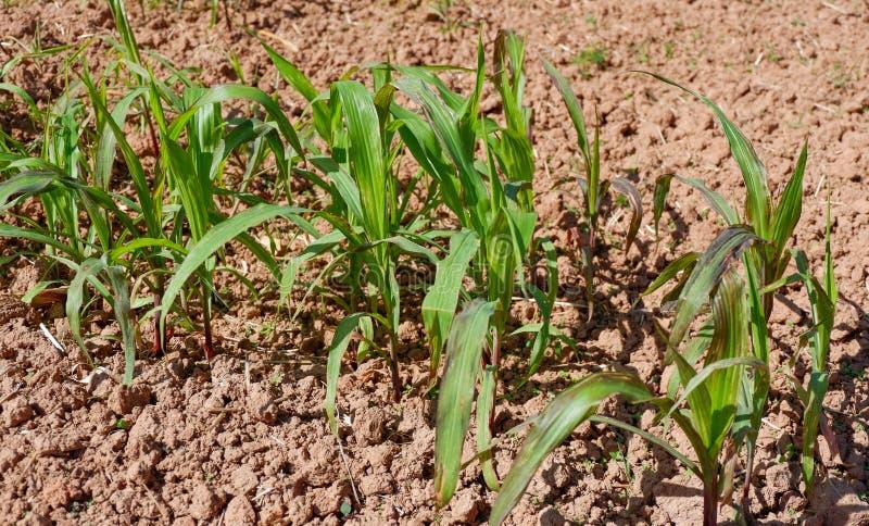 Junge Maispflanzen stockbild