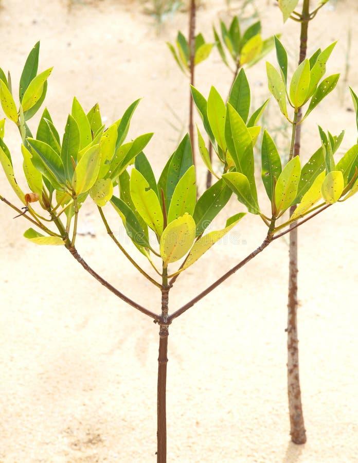 Junge Mangrove lizenzfreies stockbild