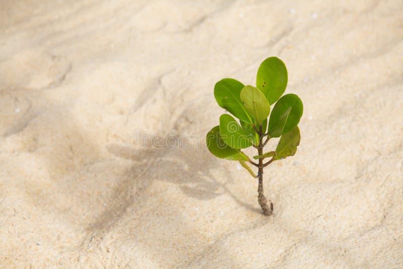 Junge Mangrove lizenzfreie stockfotografie