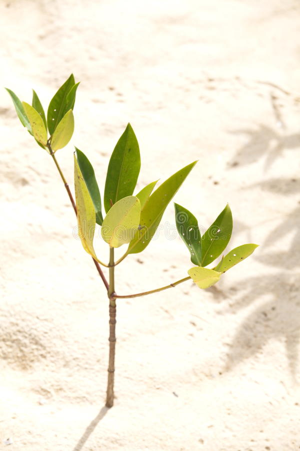 Junge Mangrove stockfotografie