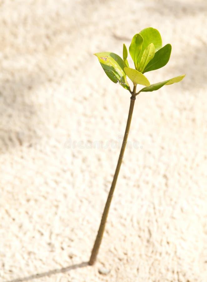 Junge Mangrove lizenzfreies stockfoto