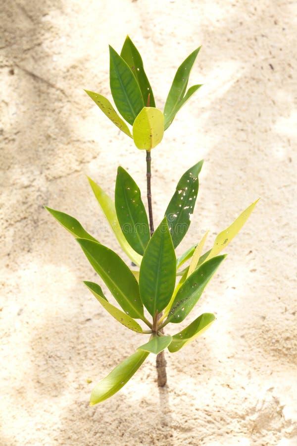 Junge Mangrove stockbild