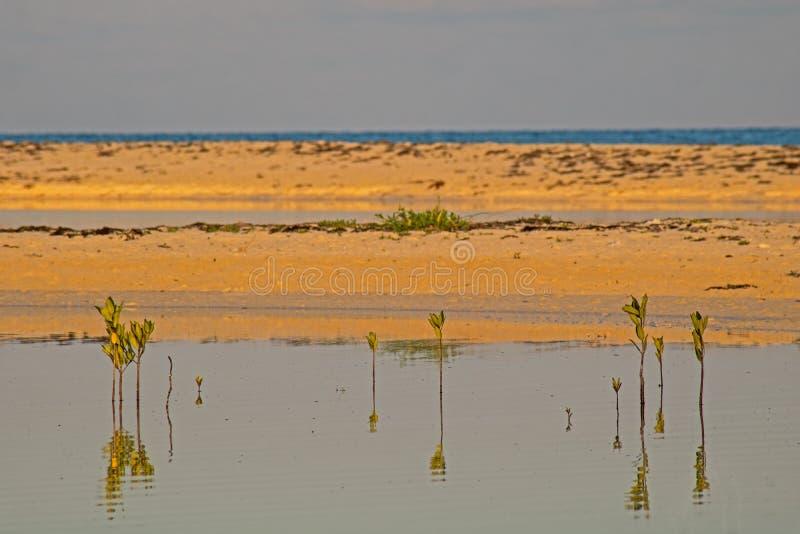 Junge Mangrove im Gezeiten- Pool lizenzfreie stockfotos