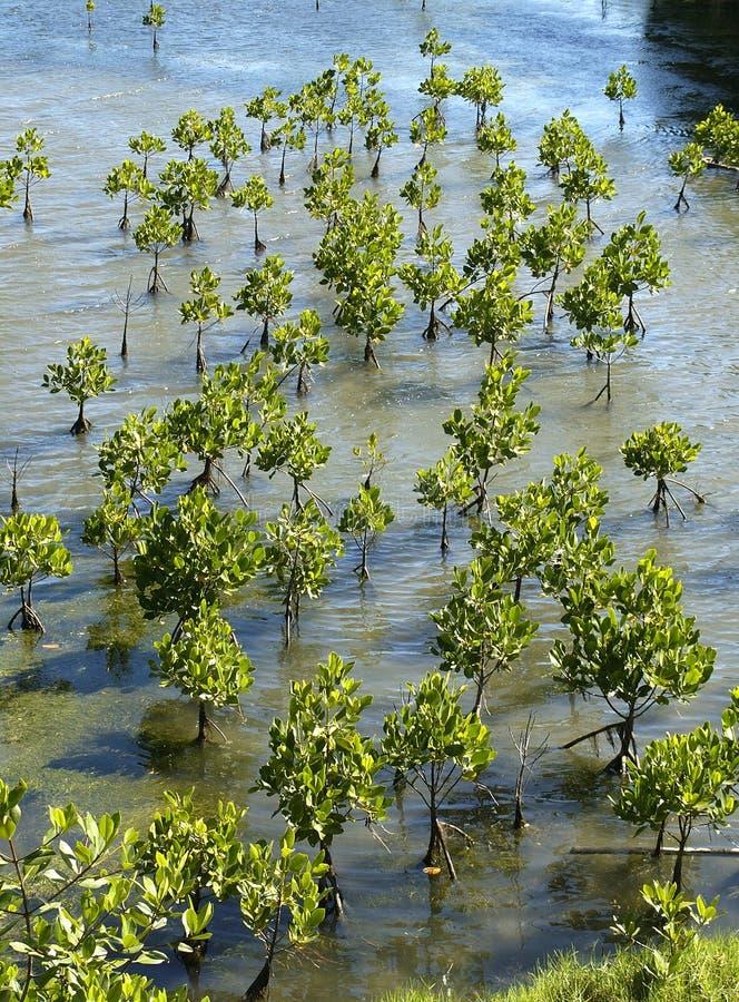Junge Mangrovebäume lizenzfreie stockbilder