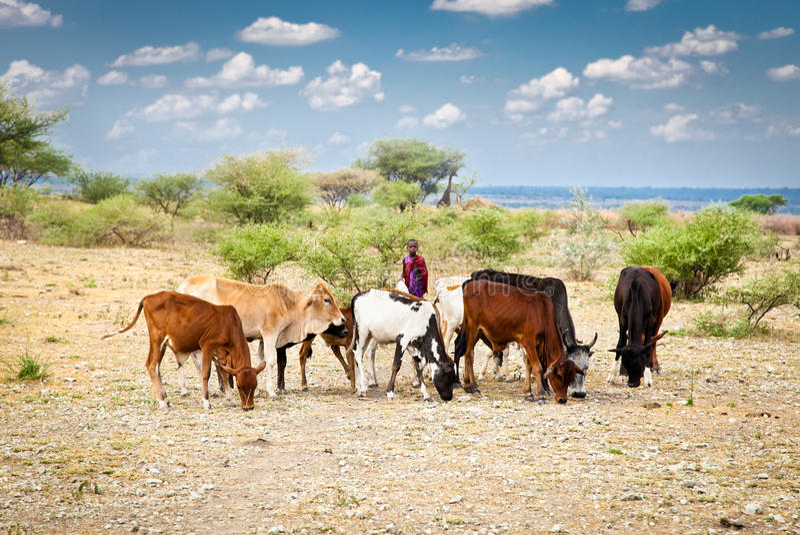 Junge Masaihirten und Vieh, Tansania, Afrika stockbilder