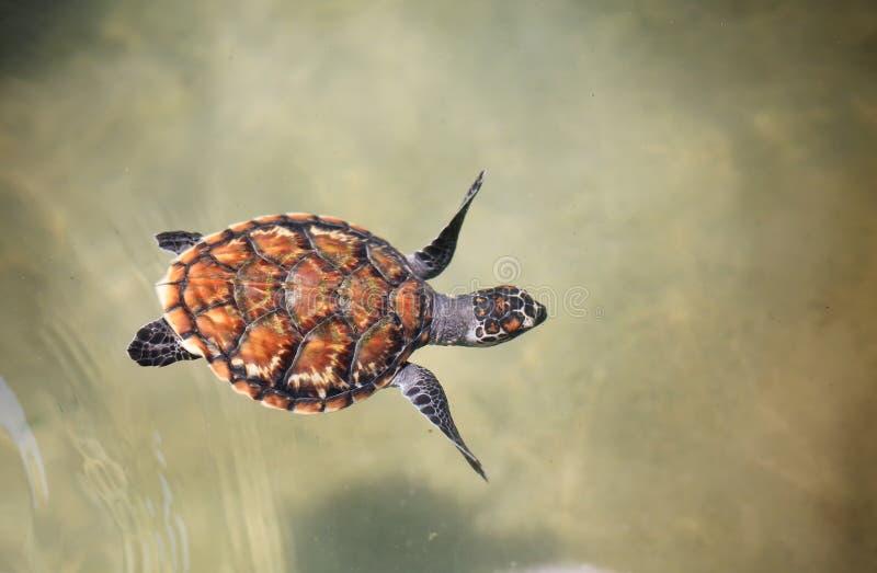 Junge Meeresschildkröteschwimmen im Kindertagesstättenpool am Züchten der Mitte stockfotografie
