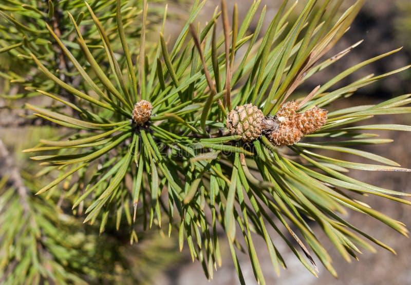 Junge Nadeln, Kiefernkegel und Zweige der Kiefers im Frühjahr stockbilder