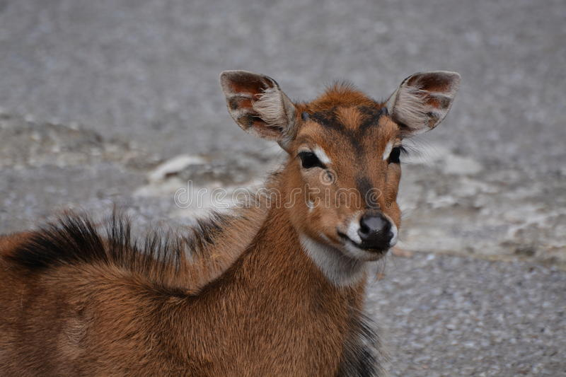Junge Nilgai-Antilope stockfotos