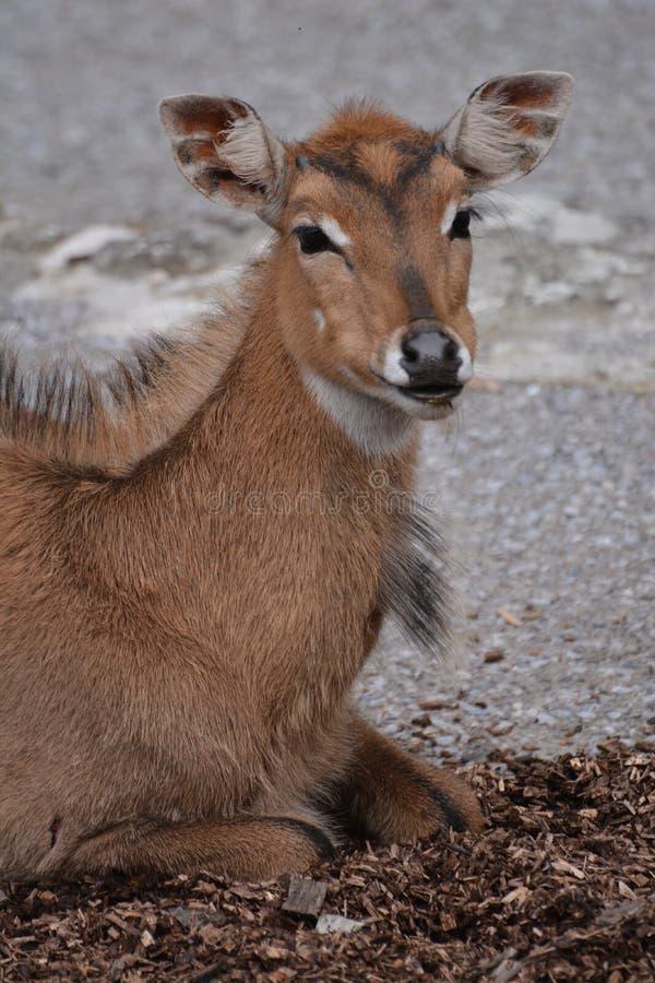 Junge Nilgai-Antilope lizenzfreie stockbilder