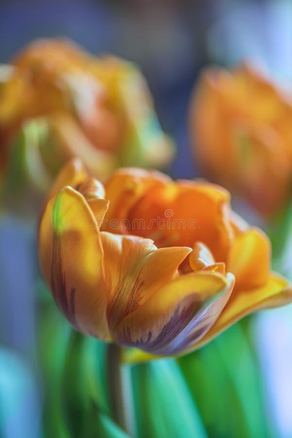 Junge orange Pfingstrosenarttulpen auf blured violettem Hintergrund Abschluss oben Weicher Fokus 2 stockfoto