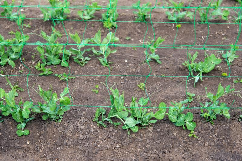 Junge organische Erbsenanlagen im Garten, der durch ein Gitter kriecht lizenzfreies stockfoto