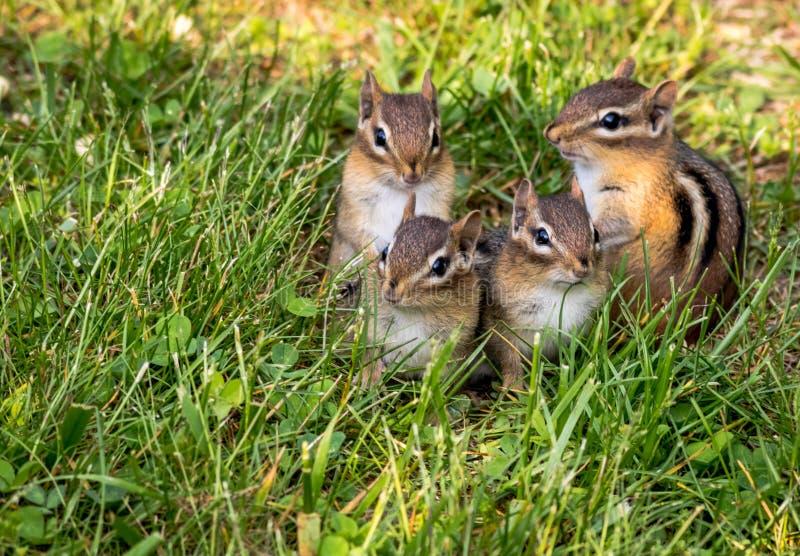 Junge Oststreifenhörnchenvierköpfige familie im grünen Gras stockfoto