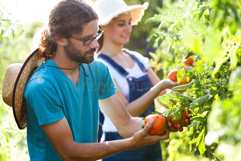 Junge Paare des Gartenkünstlers, die frische Tomaten ernten und den Garten mach's gut stockfotos