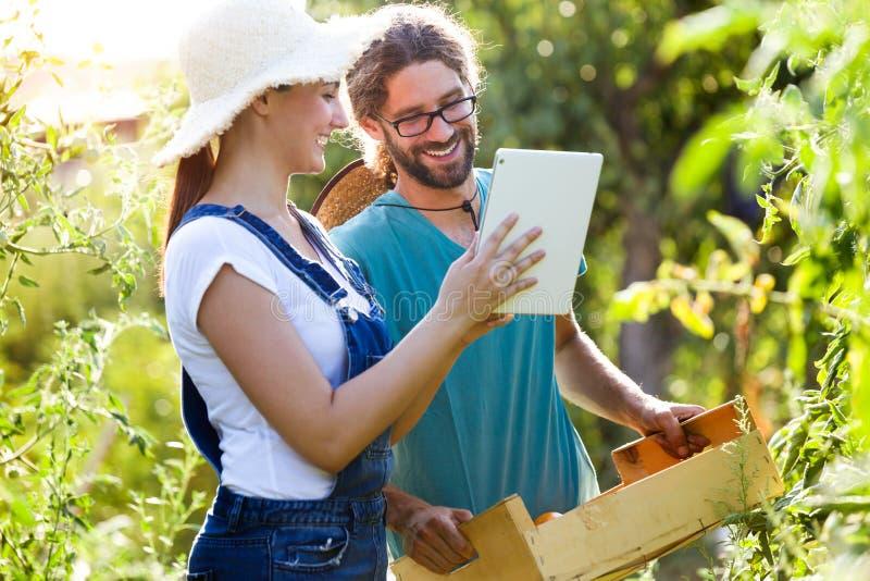 Junge Paare des Gartenkünstlers, die frische Tomaten ernten und Erntezeit auf einer digitalen Tablette im Garten planen lizenzfreies stockbild