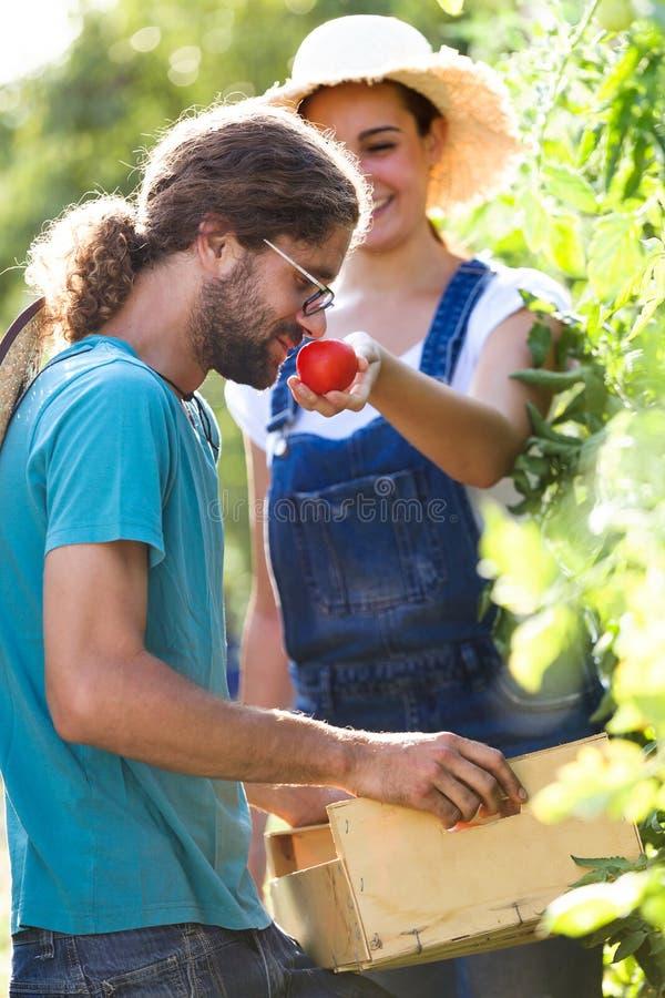 Junge Paare des Gartenkünstlers, die Frischgemüse ernten und auf einen Korb und tomatoe vom Garten riechend sich setzen stockfotografie