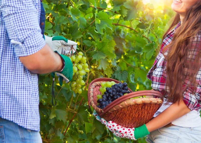 Junge Paare im Weinberg während der Erntezeit stockfotografie
