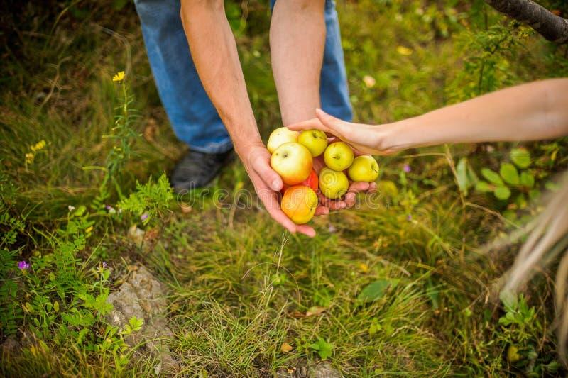 Junge Paarernten von Äpfeln stockbilder