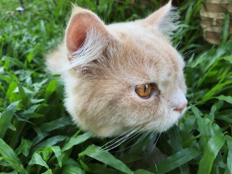 Junge persische Katze sein Gesicht beim Sitzen drehen auf gr?nem Hinterhof lizenzfreie stockfotografie