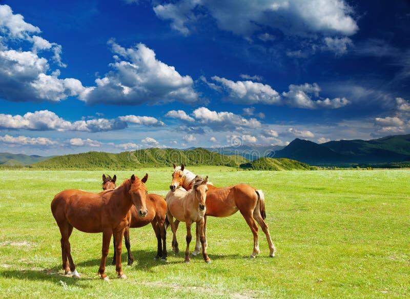 Junge Pferde lizenzfreie stockfotografie