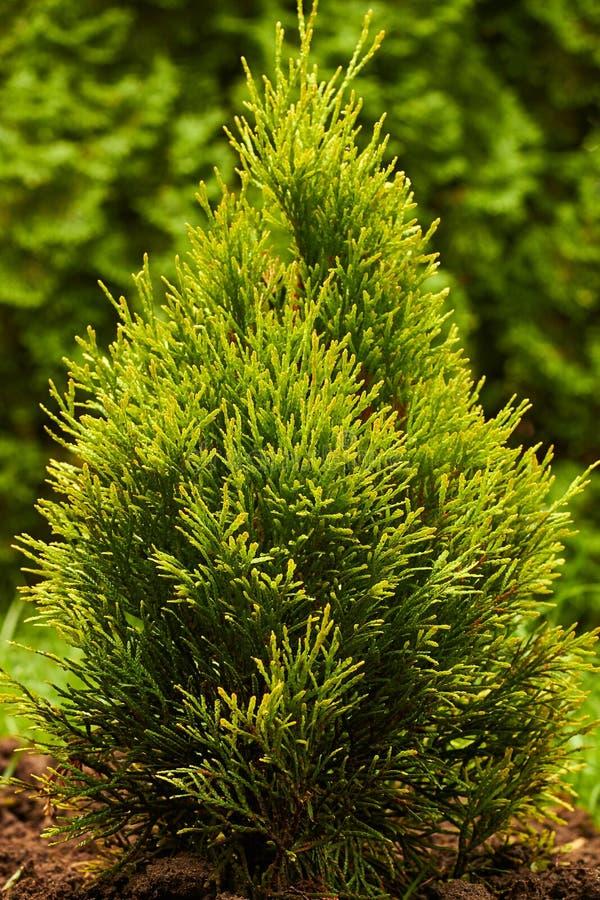 Junge Pflanze aus westlichem Gold Smarald Thuja, goldener Scaragdbaum stockbild