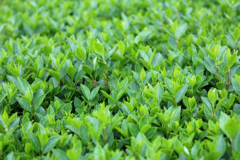Junge räumlich knapp bemessene dicht gepflanzte Sträuche der Hecke oder der Hecke mit mehrfachen kleinen hellgrünen Blättern im l stockfotos
