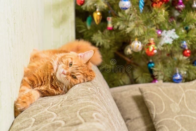 Junge rote Katze von Maine Coon-Zucht schlafend auf Sofa nahe d stockfotos