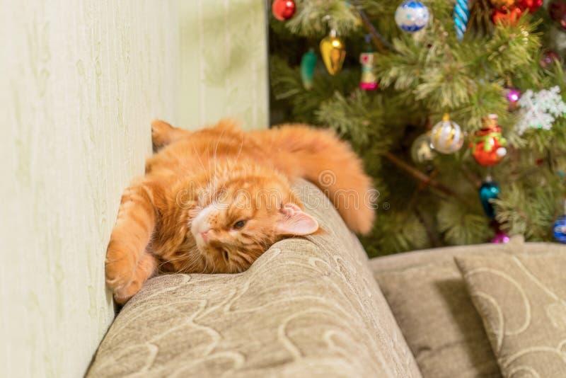 Junge rote Katze von Maine Coon-Zucht schlafend auf Sofa nahe d stockfoto
