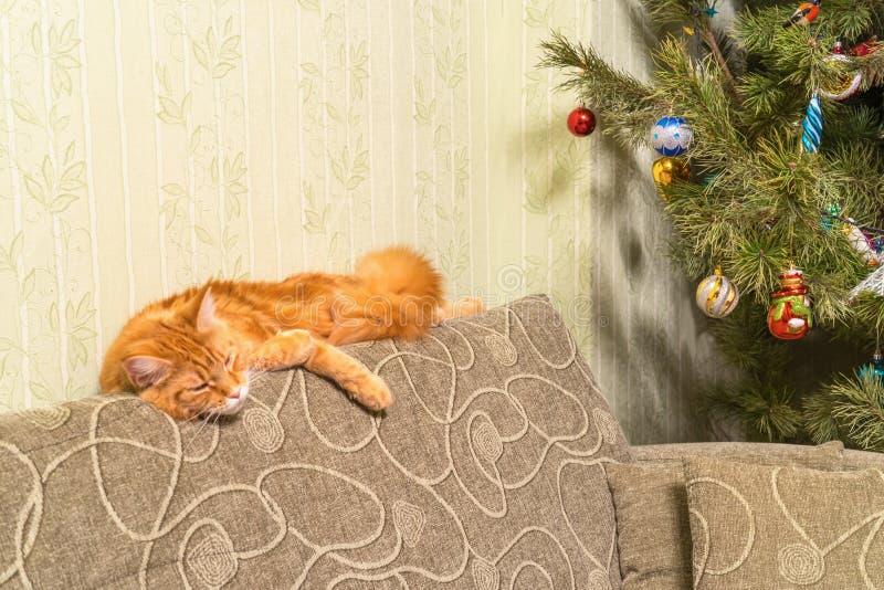 Junge rote Katze von Maine Coon-Zucht schlafend auf Sofa nahe d lizenzfreie stockbilder