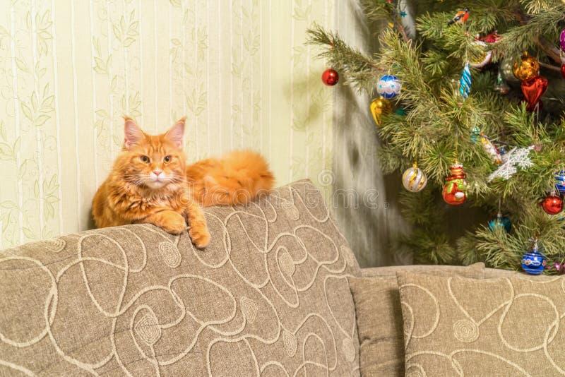 Junge rote Katze von Maine Coon-Zucht schlafend auf Sofa nahe d lizenzfreie stockfotografie