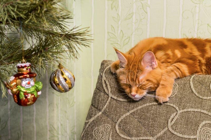 Junge rote Katze von Maine Coon-Zucht schlafend auf Sofa nahe d lizenzfreies stockfoto