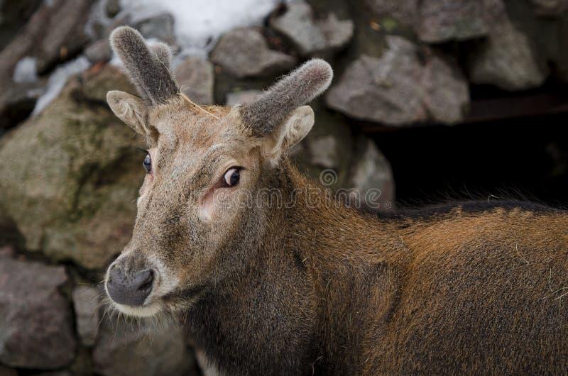 Junge Rotwild mit flaumigen Hörnern wert unter einer Klippe lizenzfreie stockbilder