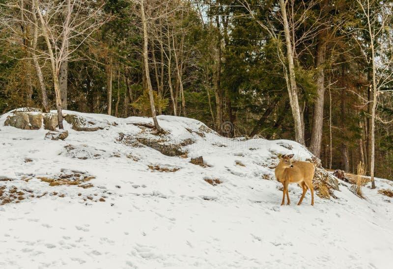 Junge Rotwild (Omega-Park von Quebec) lizenzfreies stockfoto