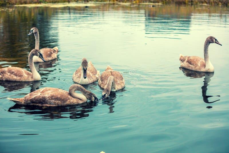 Junge Schwäne, die in einem Teich schwimmen stockfotos