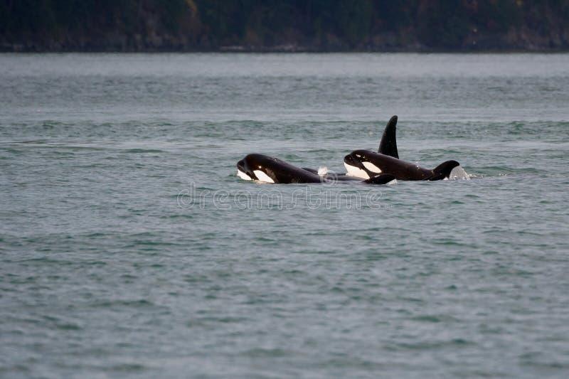 Junge Schwertwale lizenzfreies stockfoto