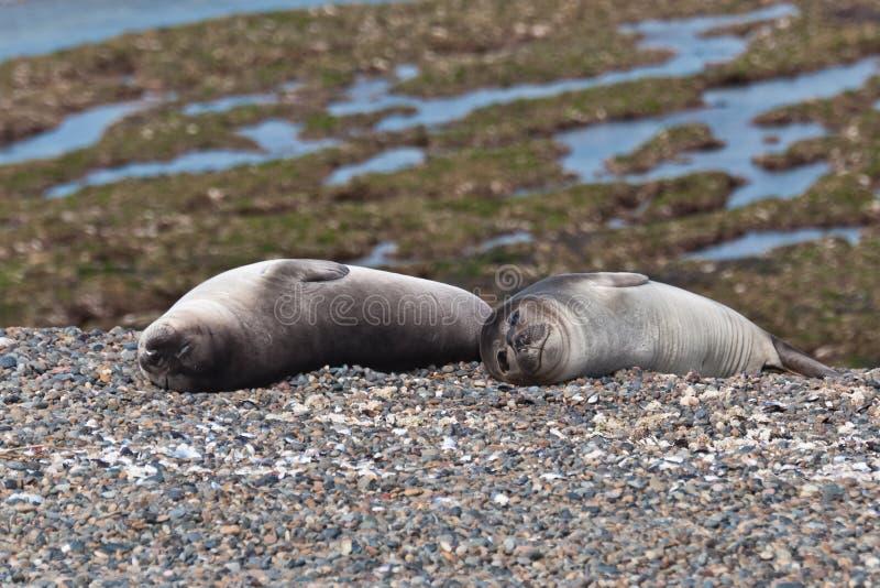Junge Seelöwen - Welpen