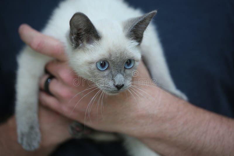 Junge siamesische Katze lizenzfreie stockfotografie
