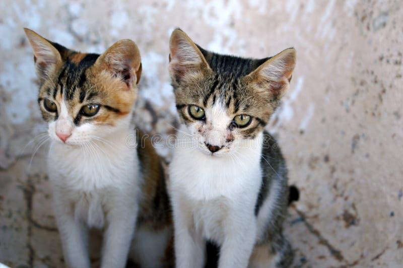 Junge sibiling Katzen lizenzfreies stockbild
