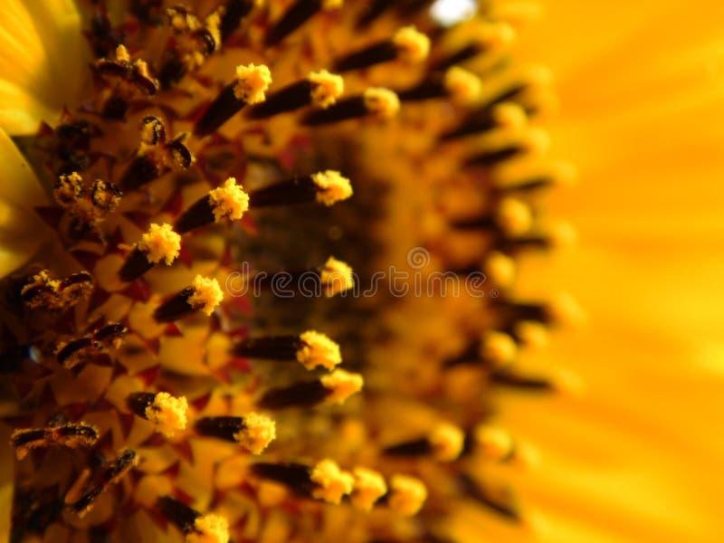 Junge Sonnenblume stockfotos
