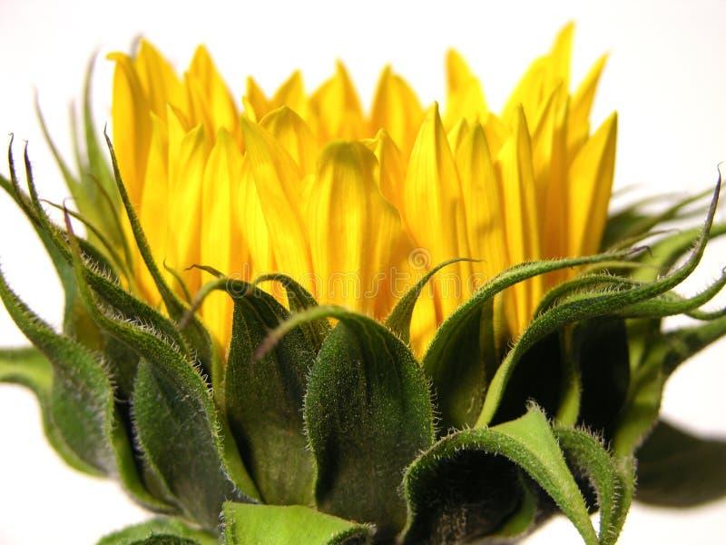 Junge Sonnenblume lizenzfreie stockfotos
