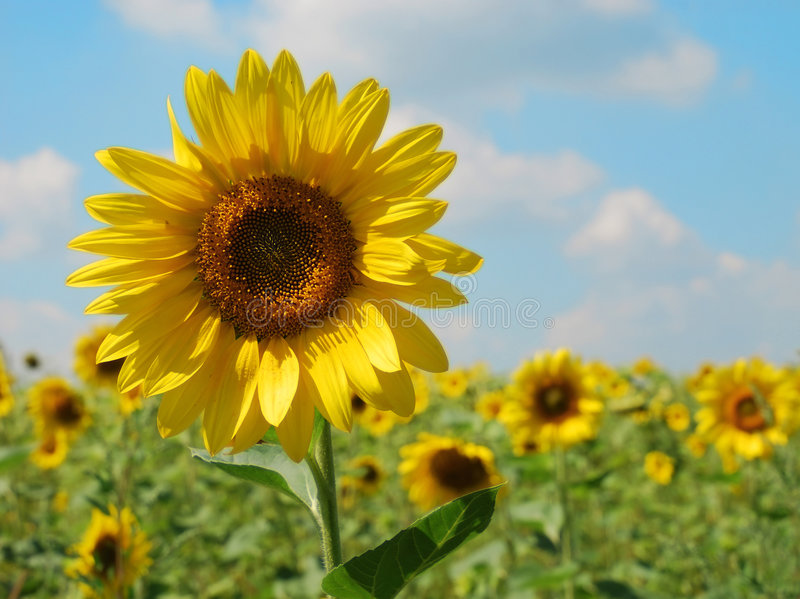 Junge Sonnenblume gegen das s stockbild