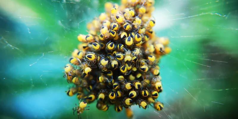 Junge Spinnen stockfotos