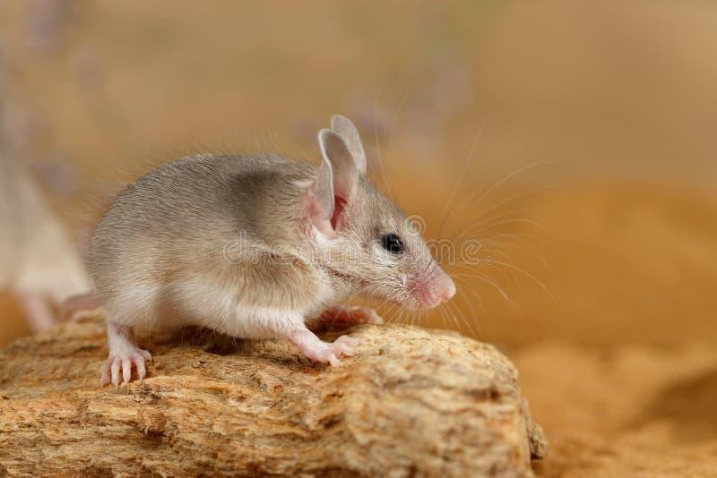Junge stachelige Maus der Nahaufnahme auf Baumstumpf lizenzfreie stockfotos
