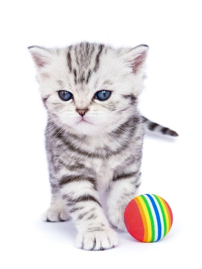 Junge stehende silberne Katze der getigerten Katze mit buntem Ball lizenzfreie stockbilder