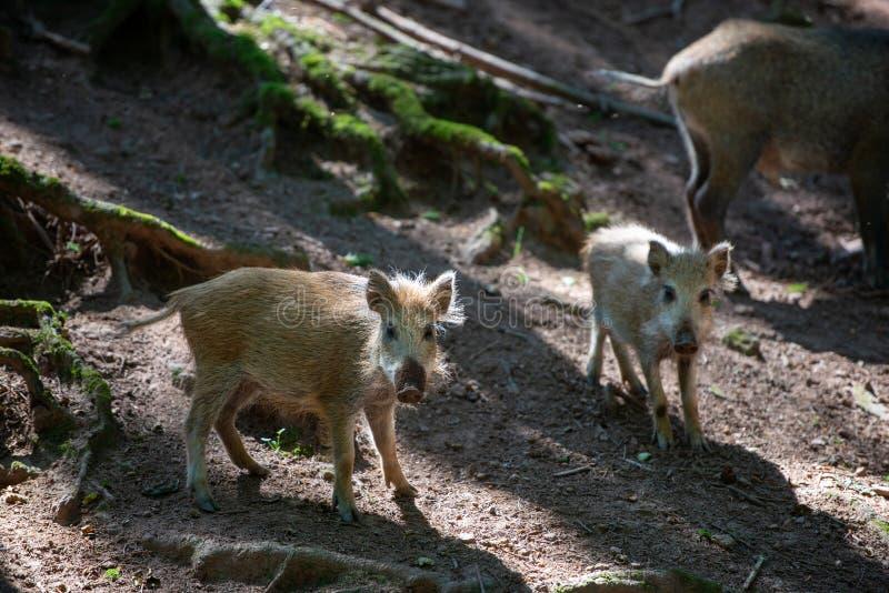 Junge Suche des wilden Ebers nach Lebensmittel im Wald stockbild