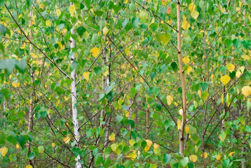 Junge Suppengrün mit den grünen und gelben Blättern lizenzfreie stockbilder