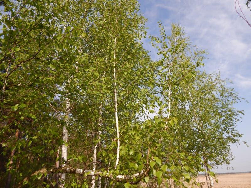 junge Suppengrün wachsen nahe dem Feld lizenzfreies stockfoto