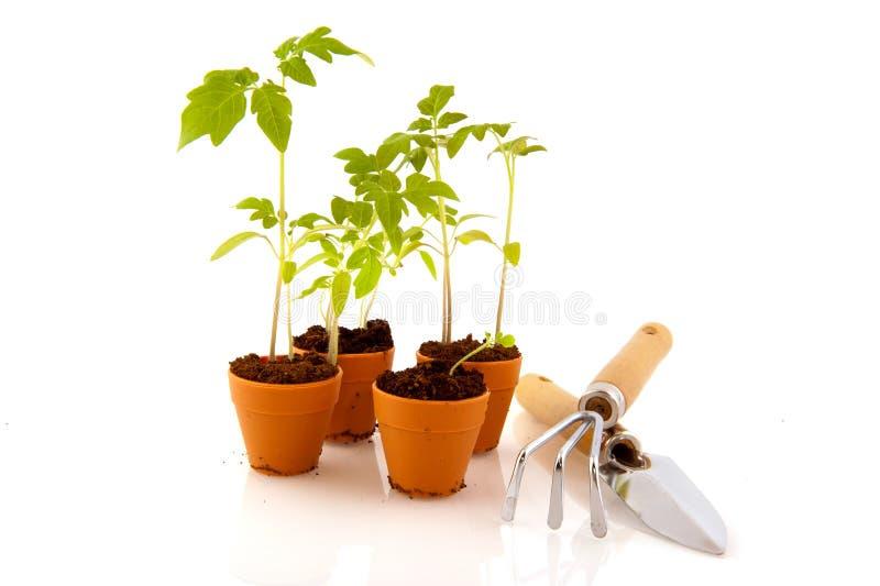 Junge Tomatenpflanzen stockbilder
